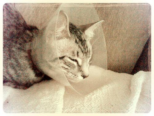 エリザベスカラーをつける猫