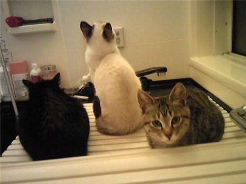 お風呂にいる猫たち