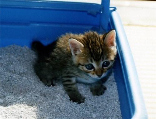 トイレトレーニングをする子猫