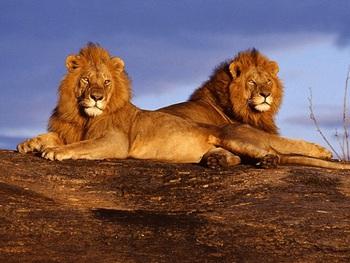 佇むオスのライオン