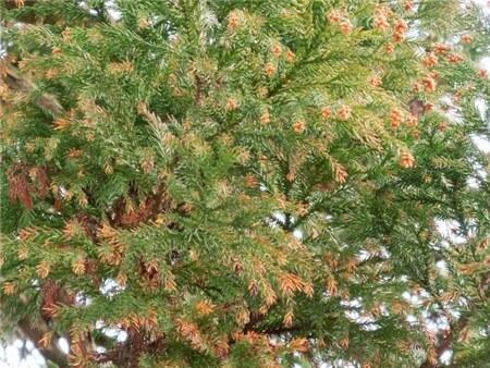 花粉のついたスギの木