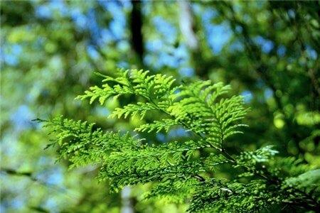 ヒノキの葉